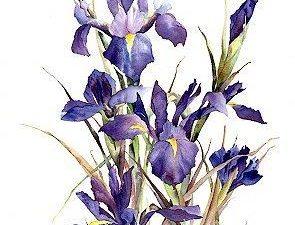 Lucy's Iris